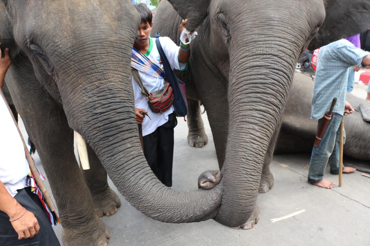 2014-11-14 Surin Elephant Welcome Feast 718