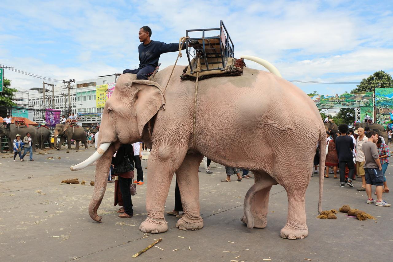2014-11-14 Surin Elephant Welcome Feast 817