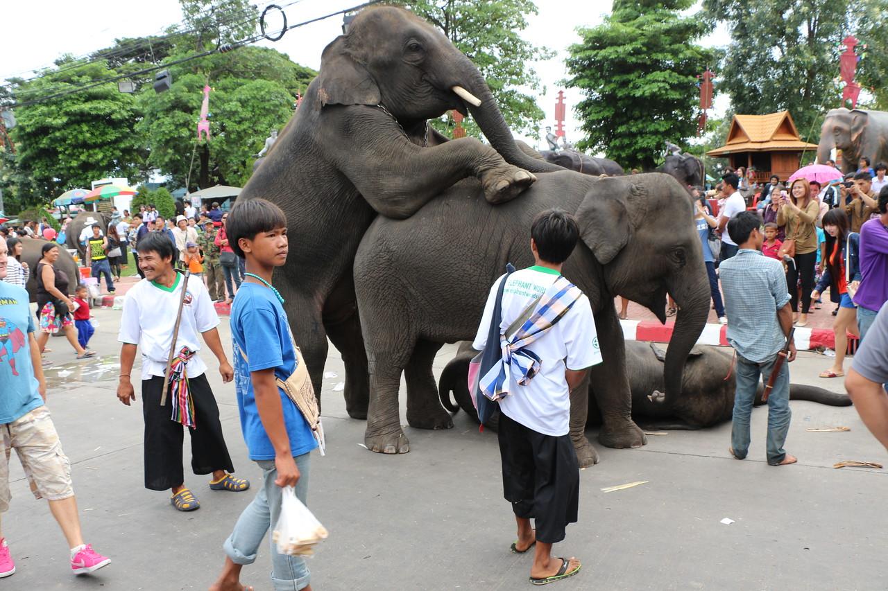 2014-11-14 Surin Elephant Welcome Feast 667