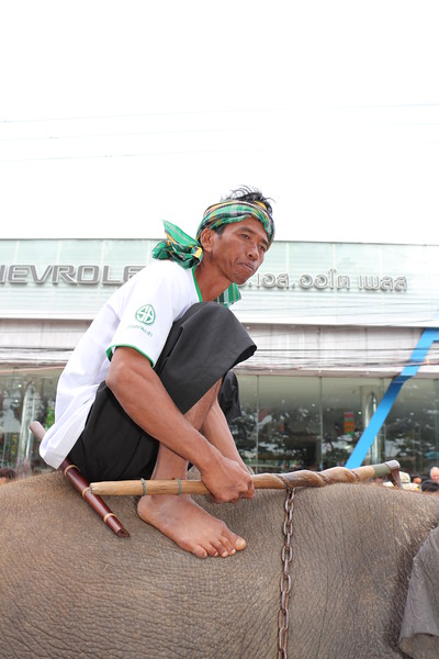 2014-11-14 Surin Elephant Welcome Feast 342