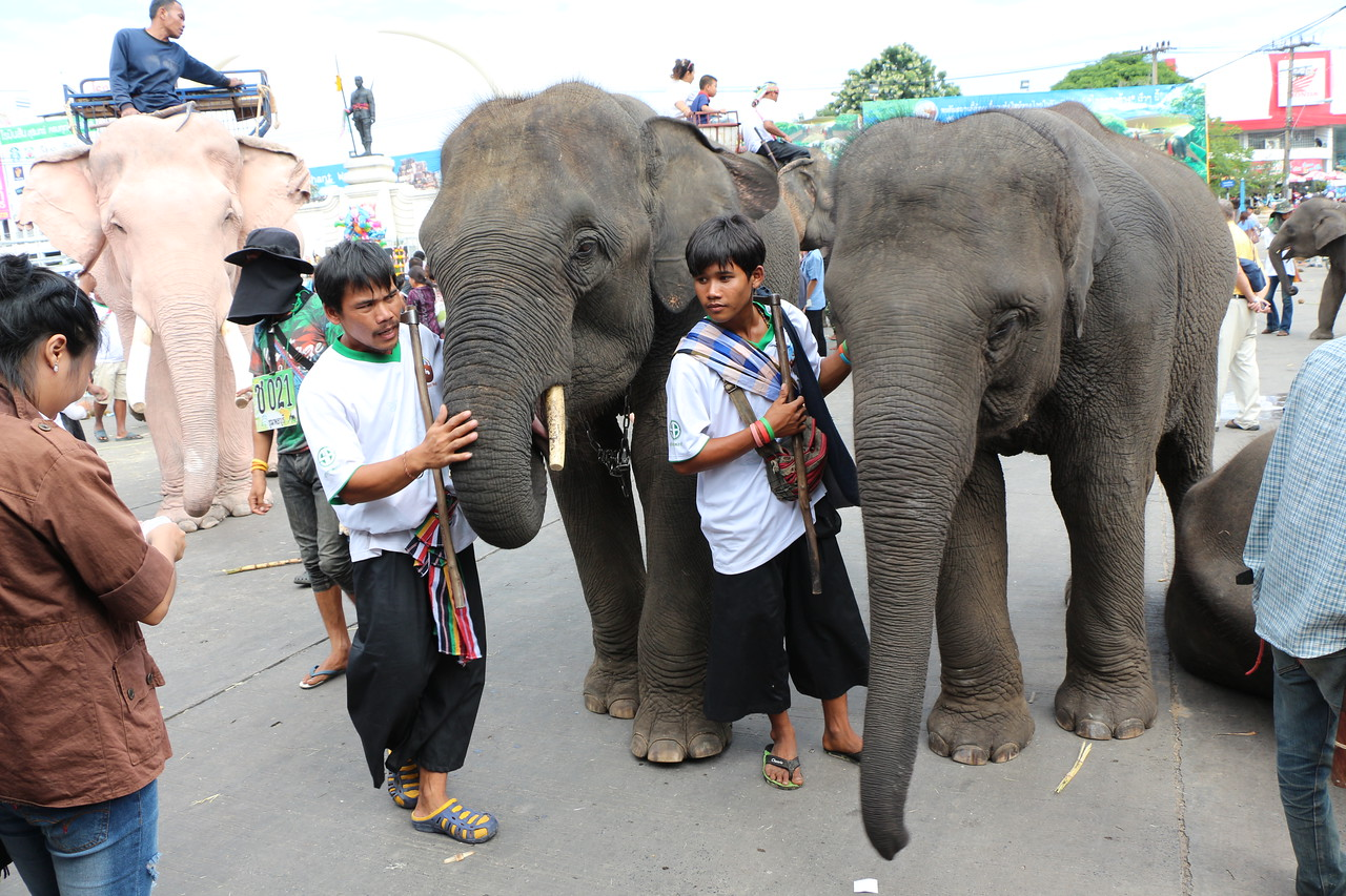 2014-11-14 Surin Elephant Welcome Feast 751