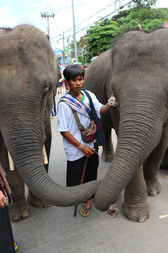 2014-11-14 Surin Elephant Welcome Feast 720