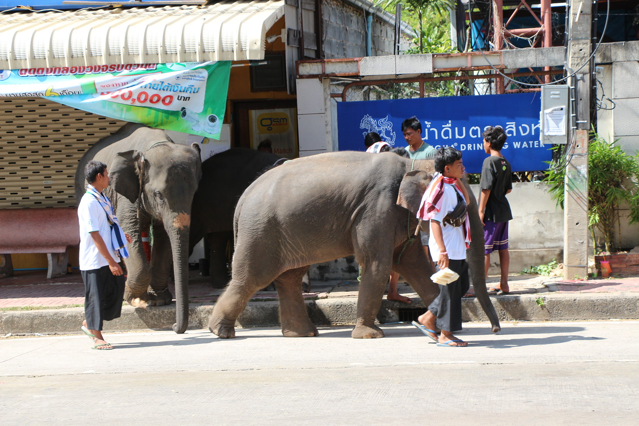 2014-11-14 Surin Elephant Welcome Feast 885
