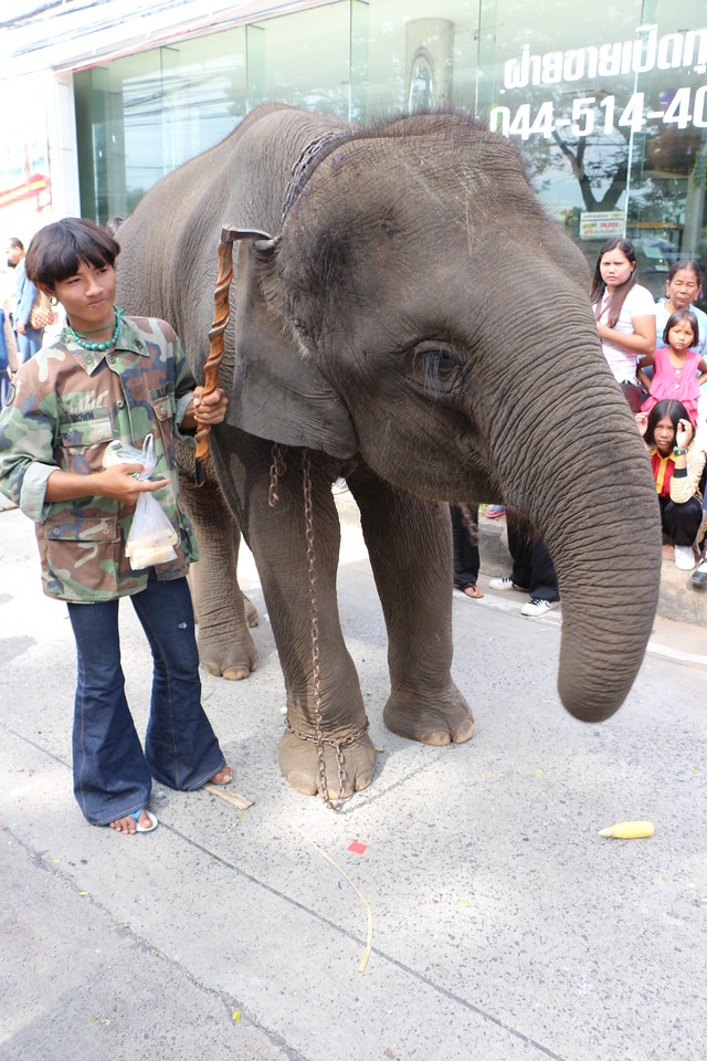 2014-11-14 Surin Elephant Welcome Feast 418