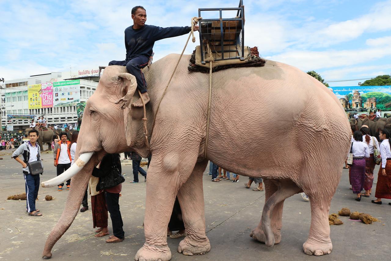 2014-11-14 Surin Elephant Welcome Feast 815