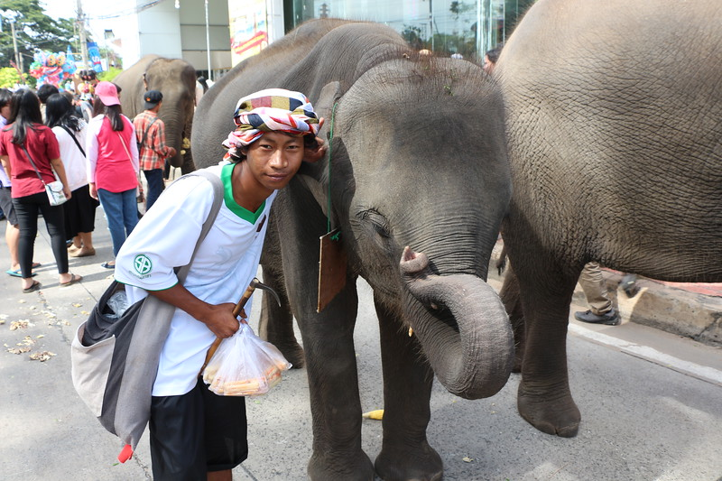 2014-11-14 Surin Elephant Welcome Feast 400.JPG