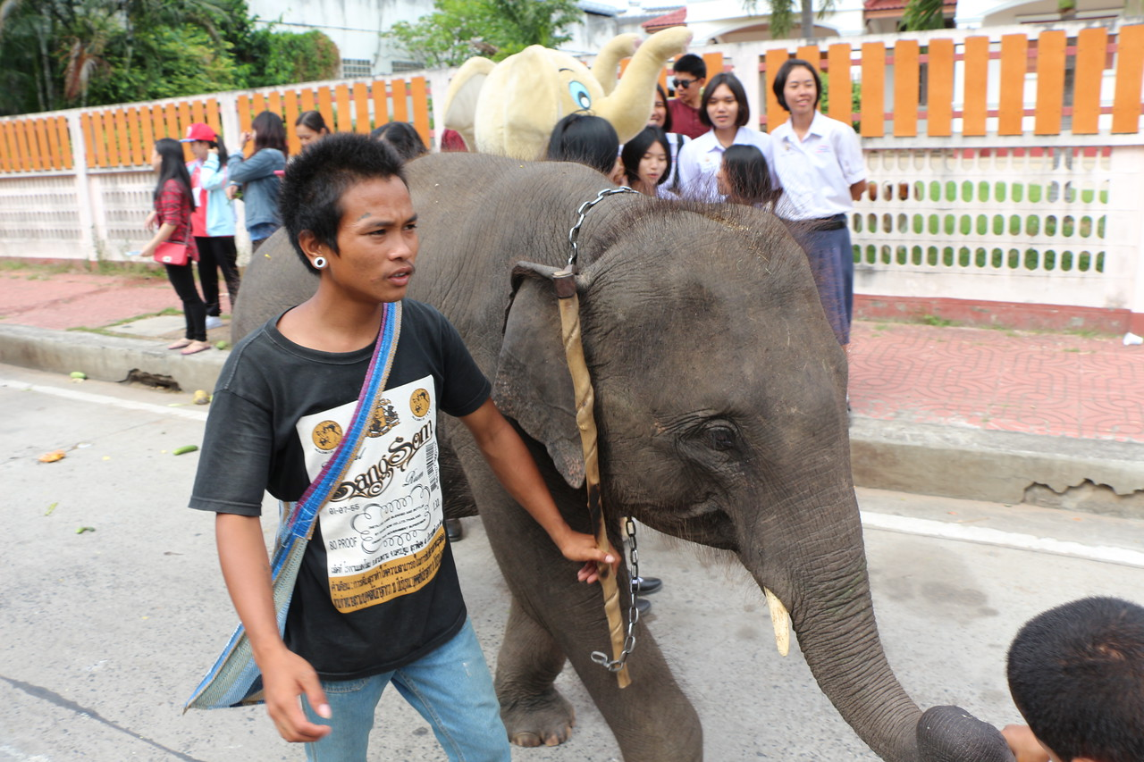 2014-11-14 Surin Elephant Welcome Feast 505