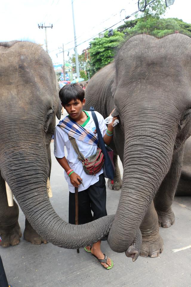 2014-11-14 Surin Elephant Welcome Feast 719