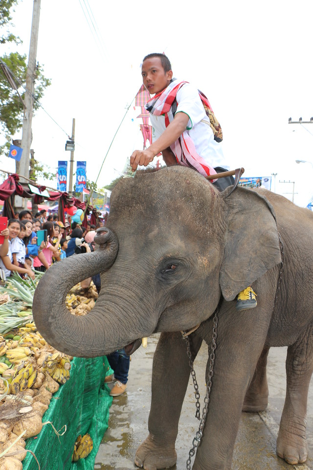 2014-11-14 Surin Elephant Welcome Feast 312