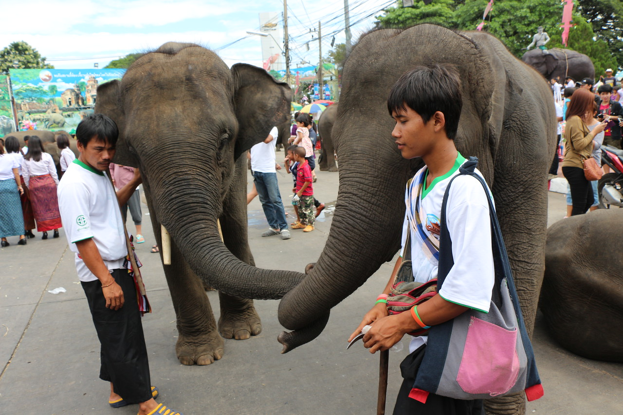 2014-11-14 Surin Elephant Welcome Feast 689