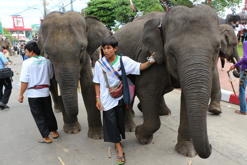 2014-11-14 Surin Elephant Welcome Feast 765.JPG