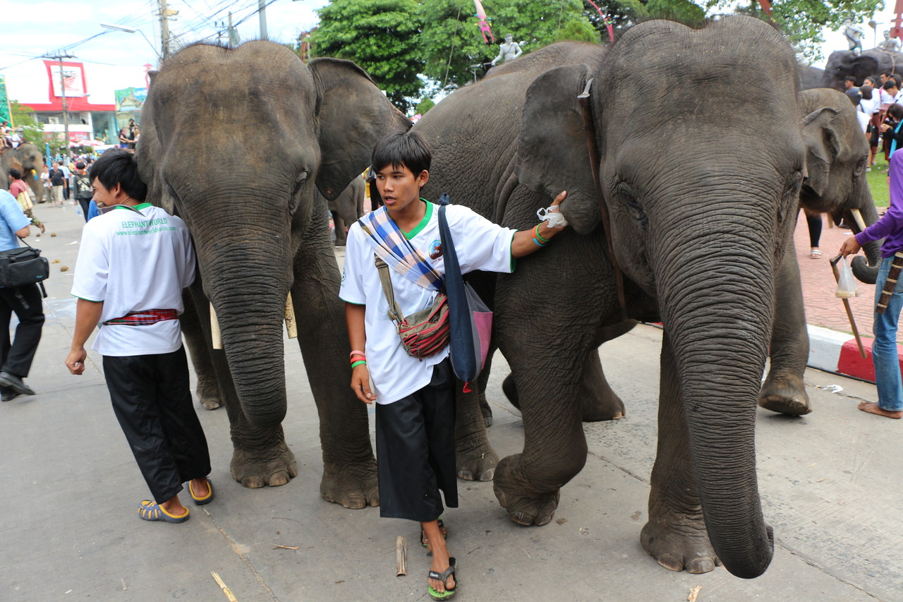 2014-11-14 Surin Elephant Welcome Feast 765