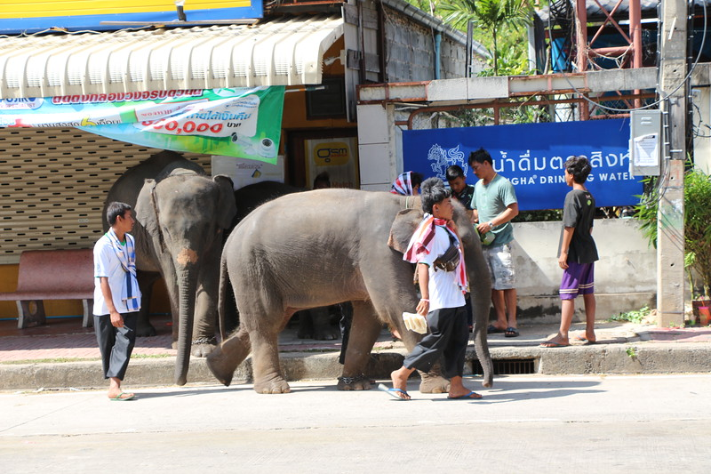 2014-11-14 Surin Elephant Welcome Feast 884.JPG
