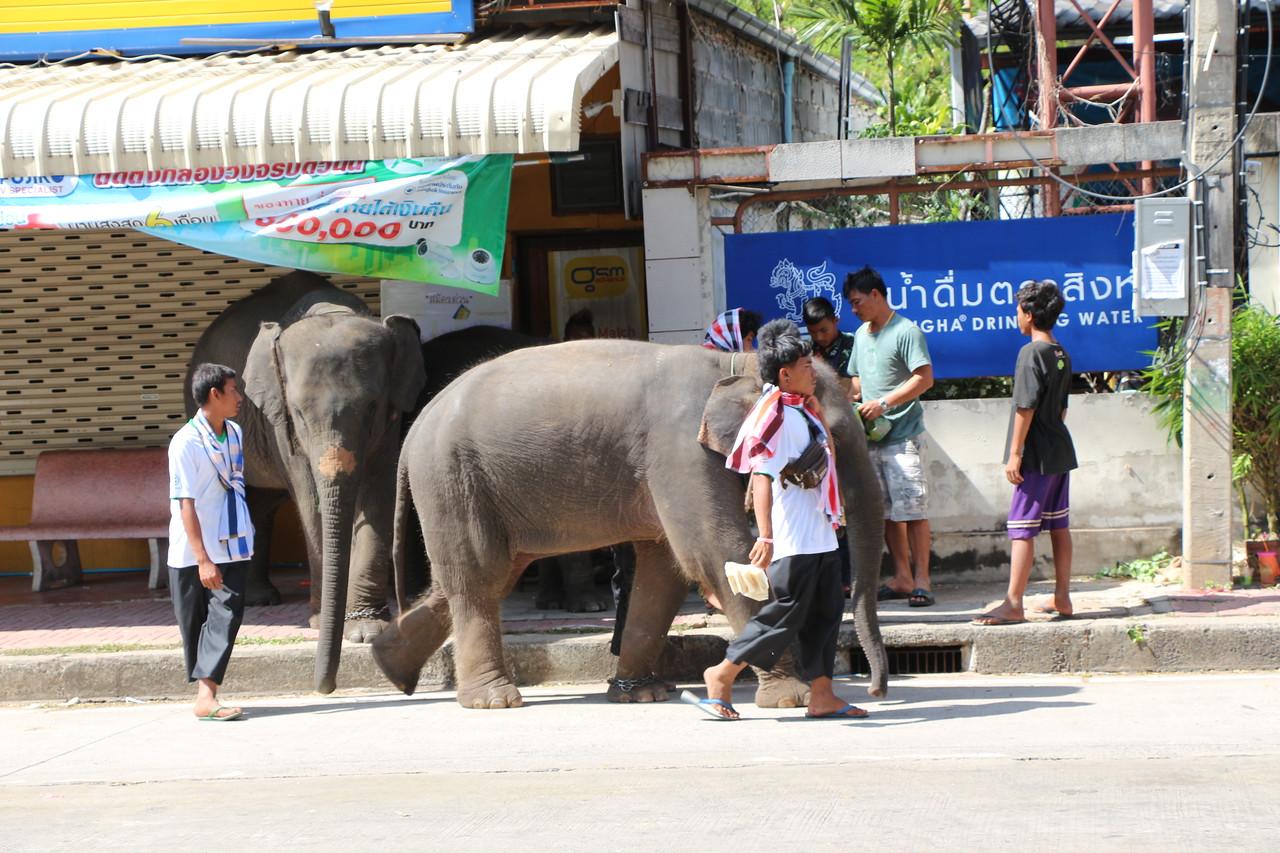 2014-11-14 Surin Elephant Welcome Feast 884