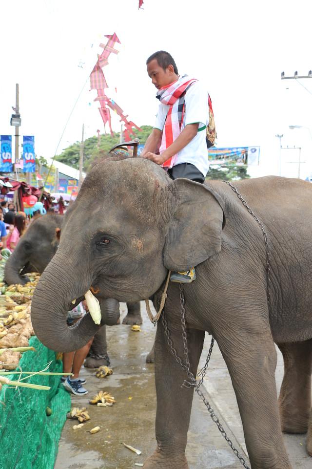 2014-11-14 Surin Elephant Welcome Feast 335