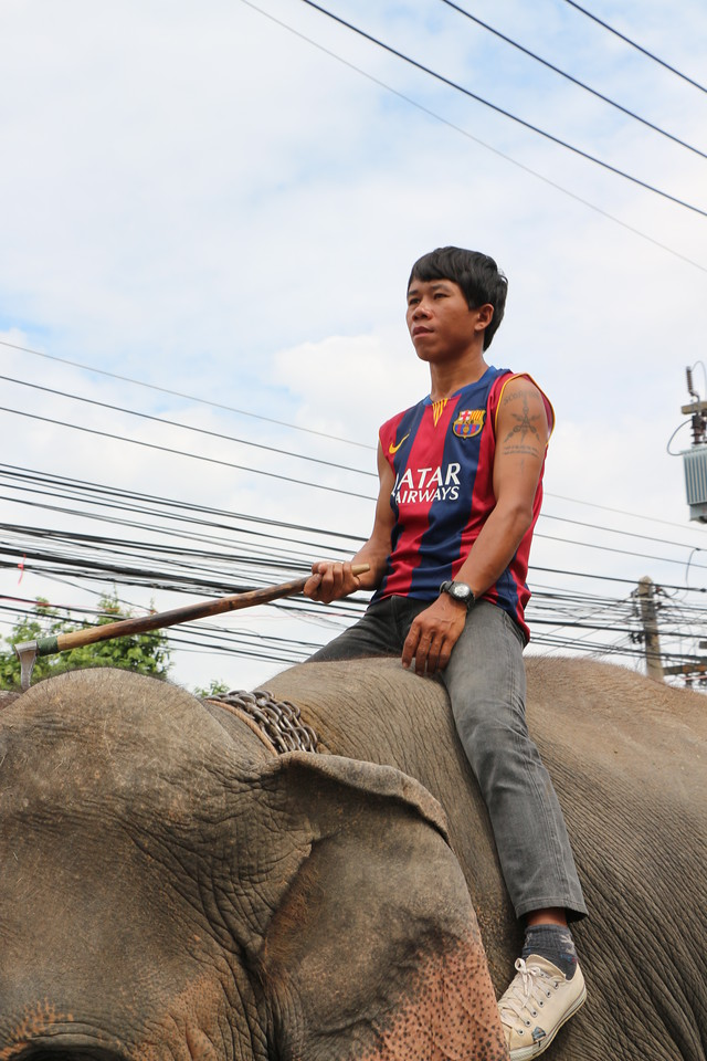 2014-11-14 Surin Elephant Welcome Feast 560