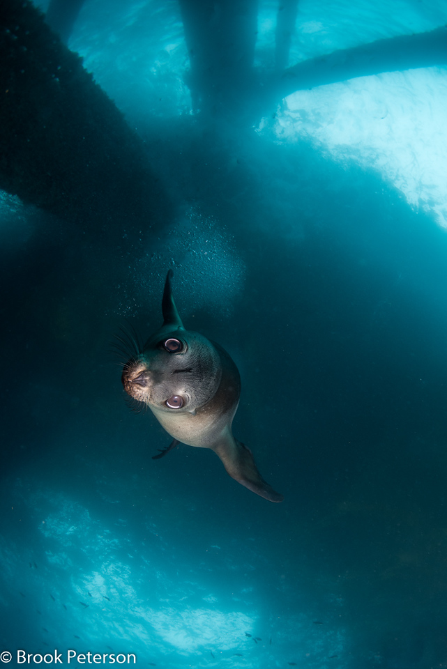 Sea Lion Dive 6007