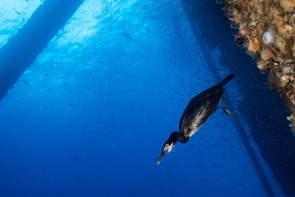 Hooked Cormorant 5061