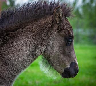 Icelandic Horse (Equus ferus caballus)