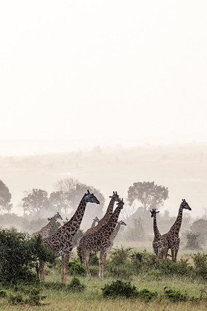 Giraffes in the Rain