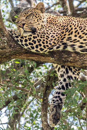 Sleepy Leopard