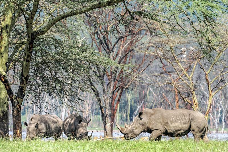 Rhinos at Lake Nakuru