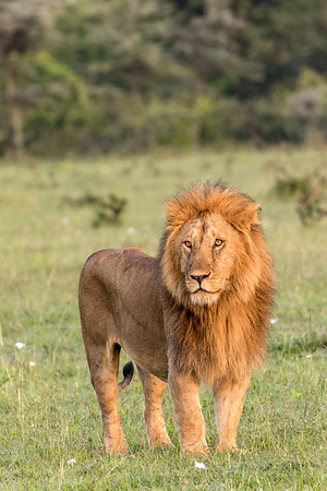 Leader of the Pride