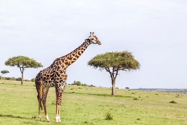 Solitary Giraffe