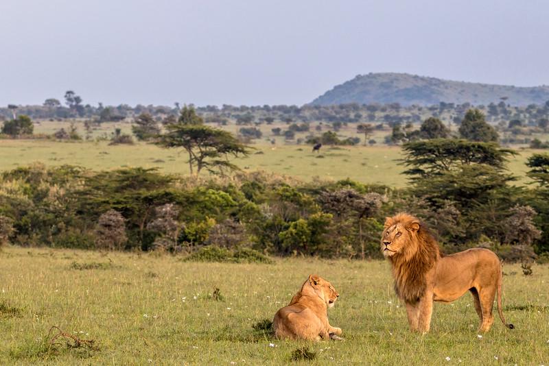 Lions at Dawn