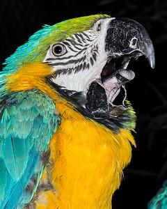 Sleepy Blue-and-yellow Macaw