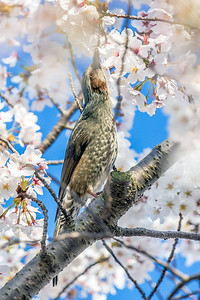 Bulbul and Cherry Blossoms