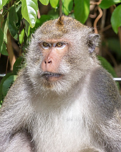 Koh Chang Macaque