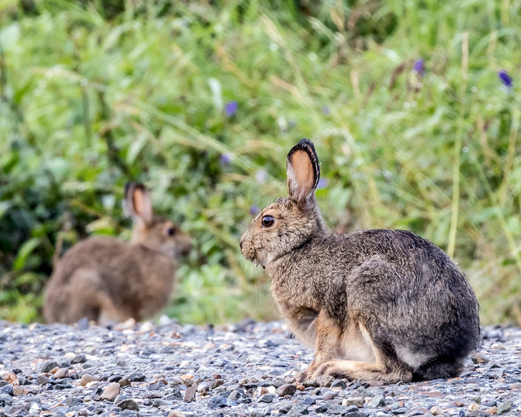Summertime Showshoe Hares