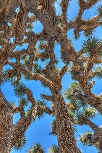 Joshua Tree Canopy