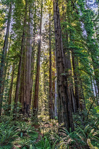 Redwoods Sunstar