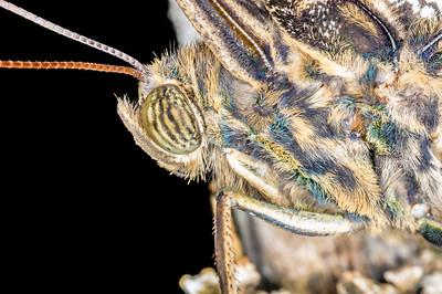 Owl Butterfly Closeup
