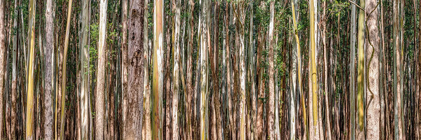 Eucalyptus Panorama