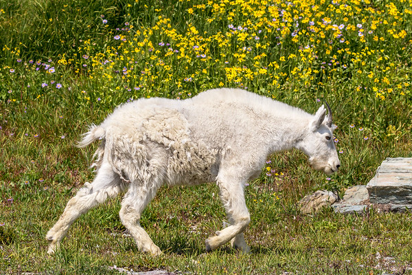 Mountain Goat and Flowers