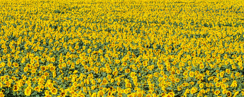 Sunflower Panorama