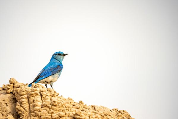 Badlands Bluebird
