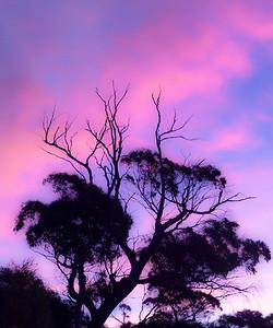 Eucalyptus Silhouette
