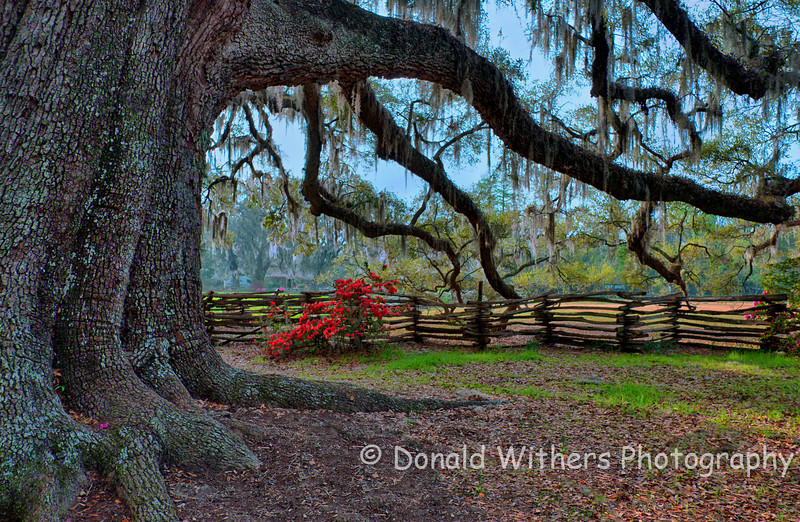Ancient Oak -  Magnolia Gardens