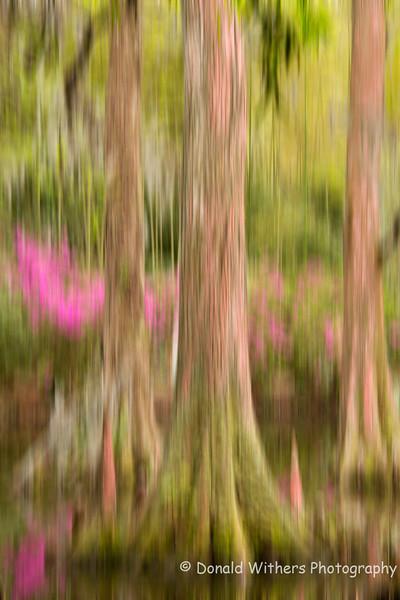 Cypress Blur - Magnolia Gardens