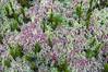 Mosses at Cranberry bog, Killarney