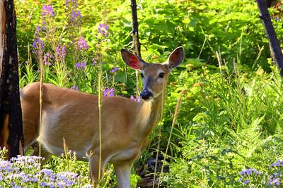 Mule Deer & Fireweed