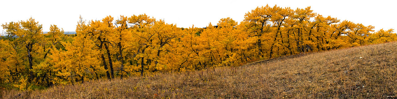 Trees, fall colors in panorama, Glacier National Park