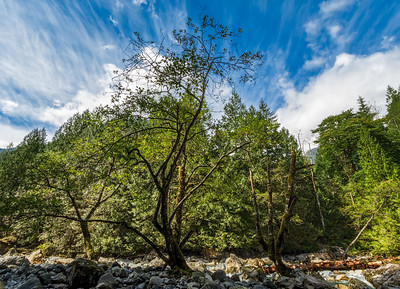 Three trees on a rocky island in the Gold River in Golden Ears Park, BC.