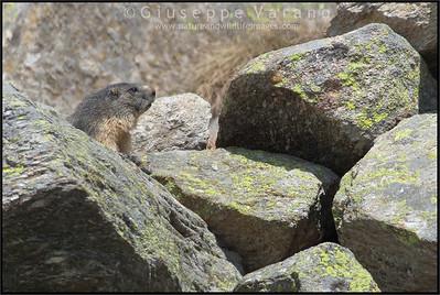 Alpine Marmot - Marmotta ( Marmota marmota )  Valle Orco - Gran Paradiso National Park - Italy Marmotta ( Marmota marmota )