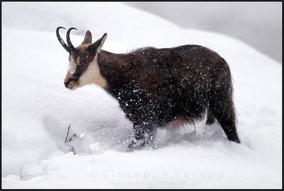Camoscio alpino - Chamois ( Rupicapra rupicapra )   Valsavarenche - Gran Paradiso National Park - Italy  Giuseppe Varano - Nature and Wildlife Images - Birds and Nature Photography