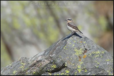 ( Northern ) Wheatear - Culbianco ( Oenanthe oenanthe )